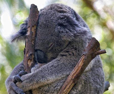 karmic koala si prepara!
