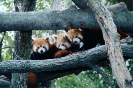 panda rossi a go go