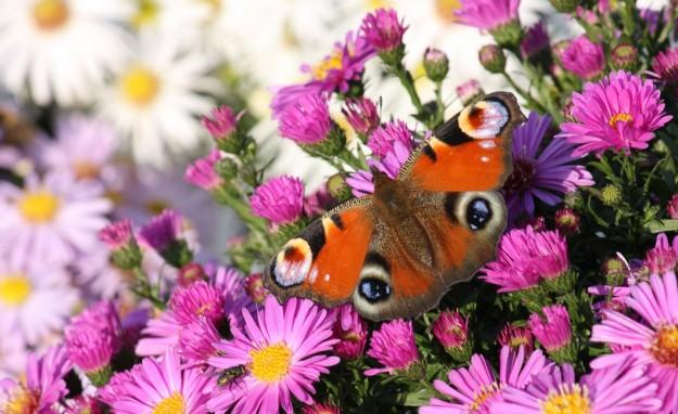 Farfalla su fiori rosa