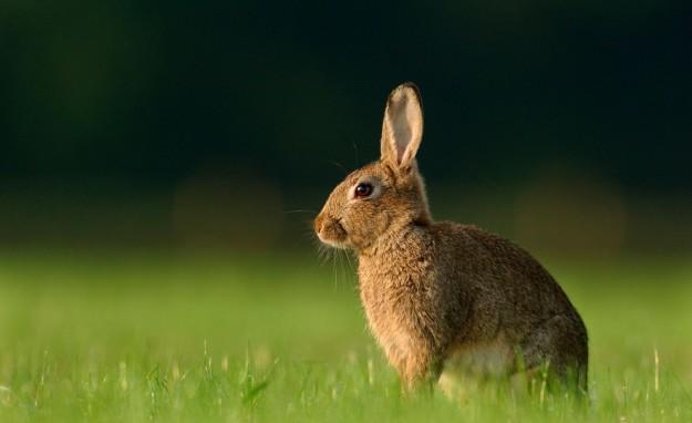 Coniglietto marrone