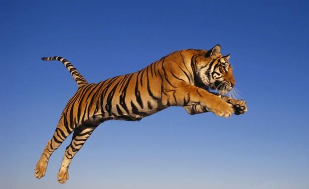 Tigre del Bengala