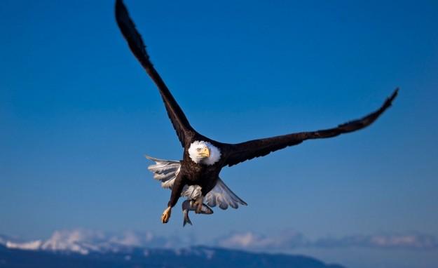Aquila calva